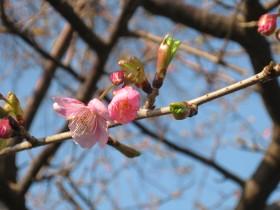 三浦海岸に咲く『河津桜』だそうです。